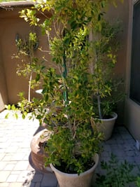 Potted Ficus Tree Chandler, 85249