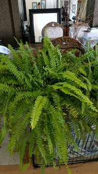Large ferns - I have 5 of them Lee's Summit