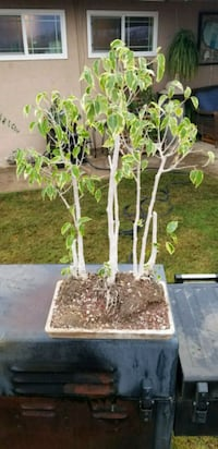 Awesome Ficus Forest bonsai Bakersfield, 93308
