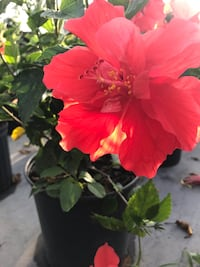 Used Double Red Hibiscus 3g For Sale In Naples Letgo