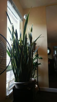 Almost 6 foot healthy snake plant Richmond, V6Y 3W3