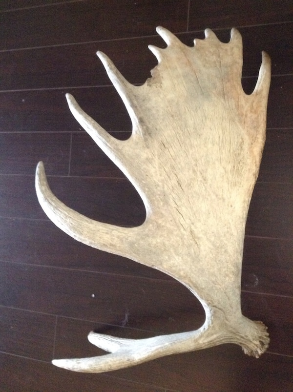 Large moose antler