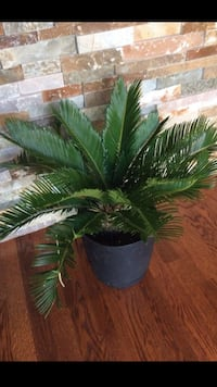 Nice Sago Palm tree house plant in the new pot  Aurora, 80012