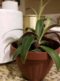 Small Rodeo Plant