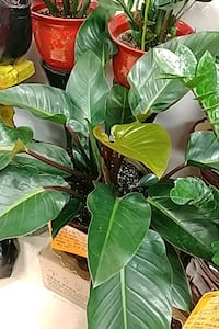Philodendron indoor plant with ceramic pot