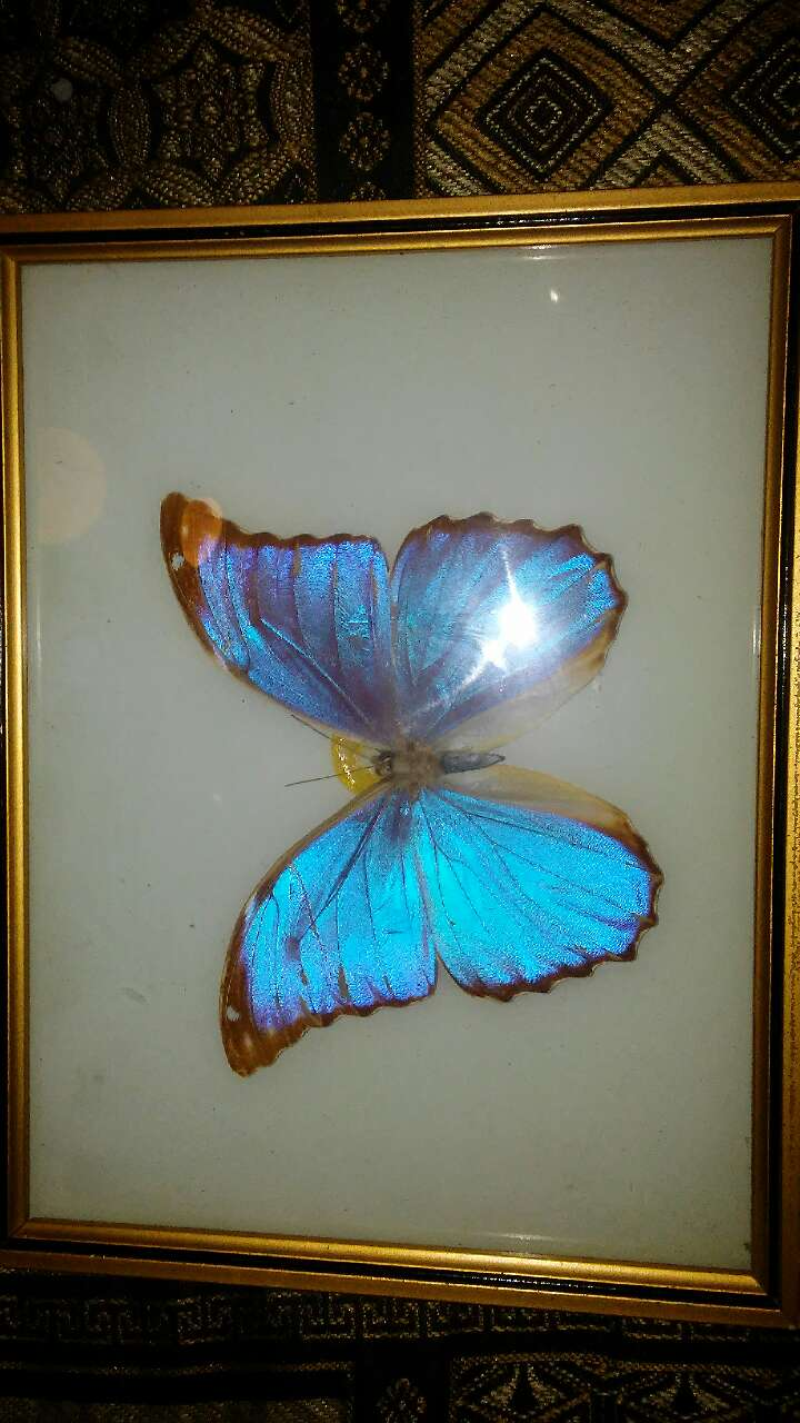 Used Morpho Butterfly Framed Taxidermy For Sale In Houston