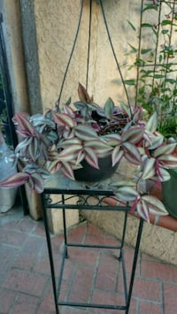 Wandering Jew Plant Westminster, 92683