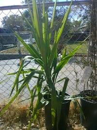 Tall 4 ft Potted Yucca Plant Sacramento, 95838