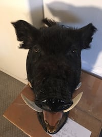 Taxidermy. big Black Boar Las Vegas, 89117