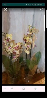 Yellow orchids Clinton, 20735