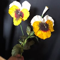 QUALITY GIANT PANSIES