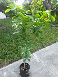 green leaf plant with black pot Delray Beach, 33484