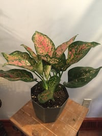 Beautiful and healthy colorful potted house plant  Aurora, 80012
