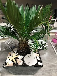 Stunning Sago Palm planted in glass container with sea shells.  Jefferson, 30549