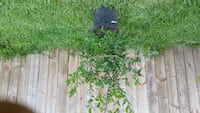 Barbados Cherry Tree ( fruiting now , see pics ) -