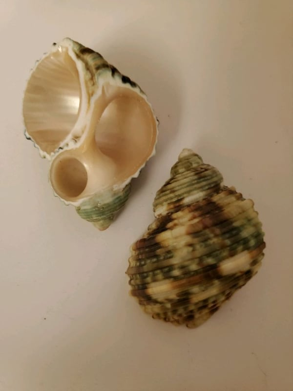 Exotic conch seashells 0ba9017a-1bf3-423f-b18e-22089a8795d9