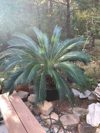 Sago palms , 13 years old.  No frost.  Keep inside during the winter.  Can be wrapped to reduce size for winter storage. Mooresville, 28115