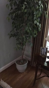artificial ficus tree in ceramic pot planter.   The planter it's self is worth over $100 by itself the price includes both the tree and the planter Bethesda, 20817