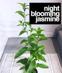 Night Blooming Jasmine (Cestrum Nocturnum) Markham, L6C 0E4