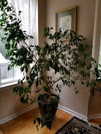 Ficus house plant Ashburn, 20147