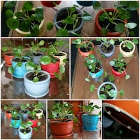 Pilea PEPEROMIOIDES plants in ceramic pots  Whitby, L1N 5B1