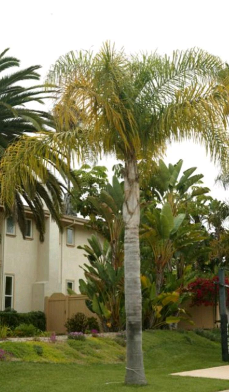 Photo Queen Baby palm trees