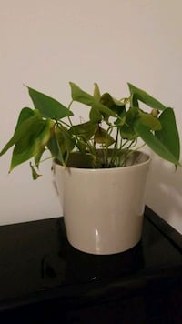 ANTHURIUM - HOUSE PLANT