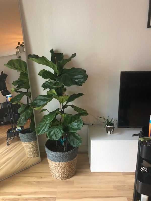 Used Green Leafed Plant With Brown Pot For Sale In San Jose Letgo