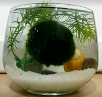 Real Marimo Moss Ball Vase Home Decoration  Rancho Cucamonga, 91739