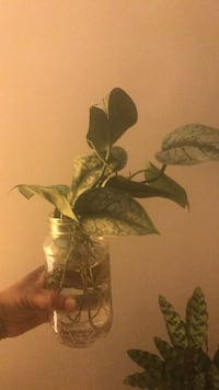 Satin pothos Rooted cutting 548 km