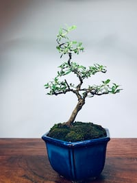 Bonsai Coprosma