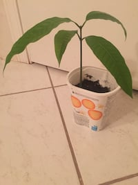 Mango Plant (Approximately 10 inches tall ) Vancouver, V5S