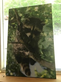 Cute raccoon picture Barrie