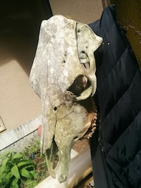 Skull of the bull with the teeth, 100% authentic and very rare  Surrey, V3S 0E7