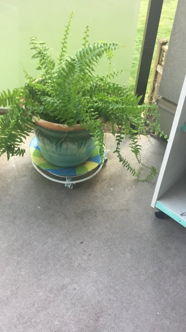 Healthy fern in nice clay pot 64eddfe3-e427-44a0-b9fc-7dd228ec493a