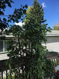 7' natural  verigated ficus tree & basket Leduc, T9E 5R5