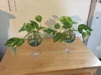 two green devil's ivy plant centerpieces East Brunswick, 08816