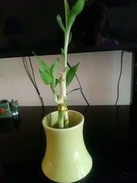 Bamboo plant and vase