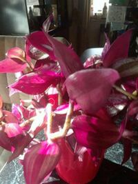 Purple wandering jew rooted cuttings Baltimore, 21206