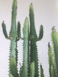 Cathedral Cactus Port Charlotte, 33954