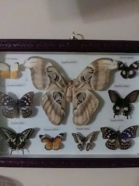 Taxidermy butterflies framed Circle Pines, 55014