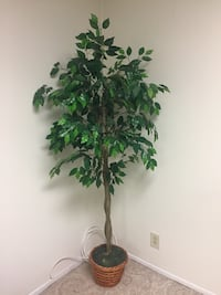 Ficus Tree 6' tall. Like new condition Laurel, 20707