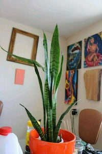 Snake plant with huge bright orange pot