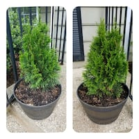 Two Pine Plants in matching pots Annapolis, 21401