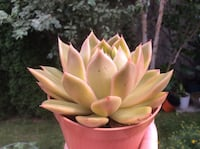 Succulent Echeveria Mira Richmond Hill, L4B