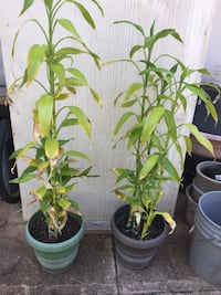 Plants, Chinese water bamboo 4fr (2for$25) Honolulu, 96814