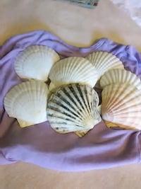 18 extra large scallop shells 4 to 5 wide Albany, 12205
