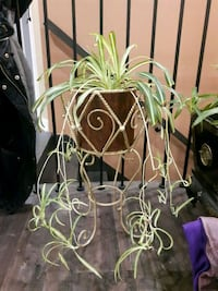 Spider plant with the stand Laval, H7G 1G2