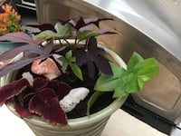 Choleus with Green Wandering Jew & Tropical Plant $10.00 Hamilton, L8H 2T4