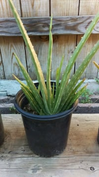 Aloe Vera plant in 1 gallon pot Whittier, 90604